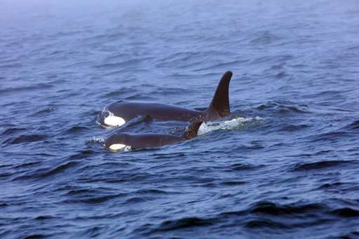 Teams pack boats with fish to prepare to feed ailing orca