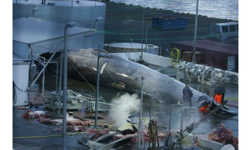 This handout photo shows what Sea Shepherd claims is a Blue whale awaiting slaughter at the Hvalur hf whaling station in Iceland