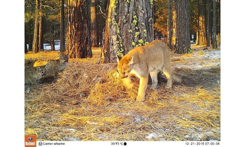 Researchers explore genetics of California mountain lions to inform future conservation
