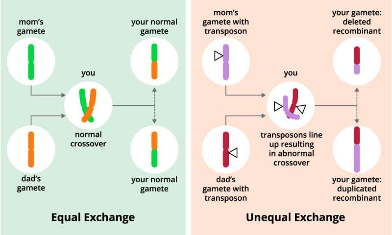 Scientists discover gene controlling genetic recombination rates