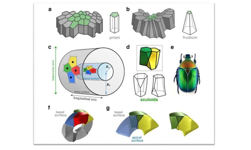 Study reveals new geometric shape used by nature to pack cells efficiently