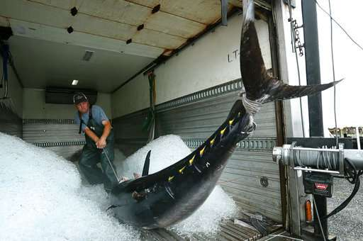 A controversial comeback for a highly prized tuna