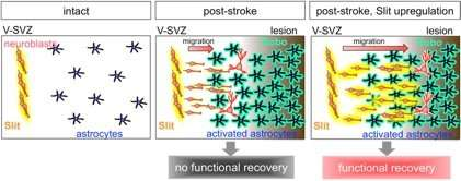 A new strategy for brain regeneration after stroke