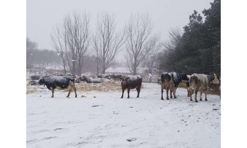 Ritmos biológicos anuales gobiernan la producción de leche en vacas lecheras