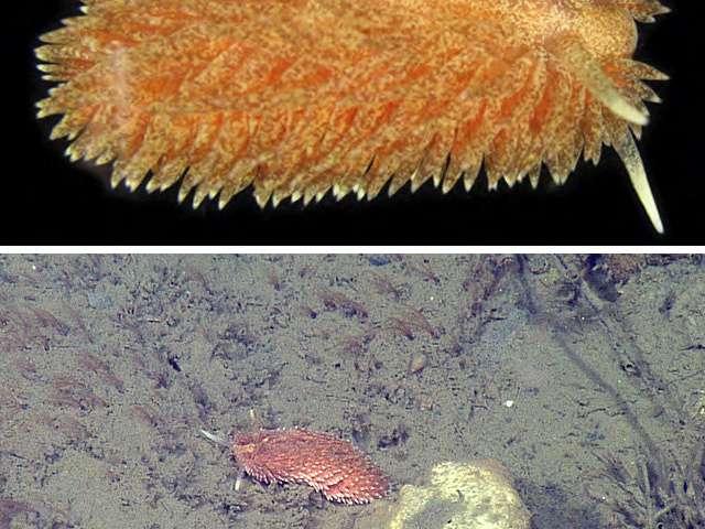 Five new species of sea slugs found in the ocean depths