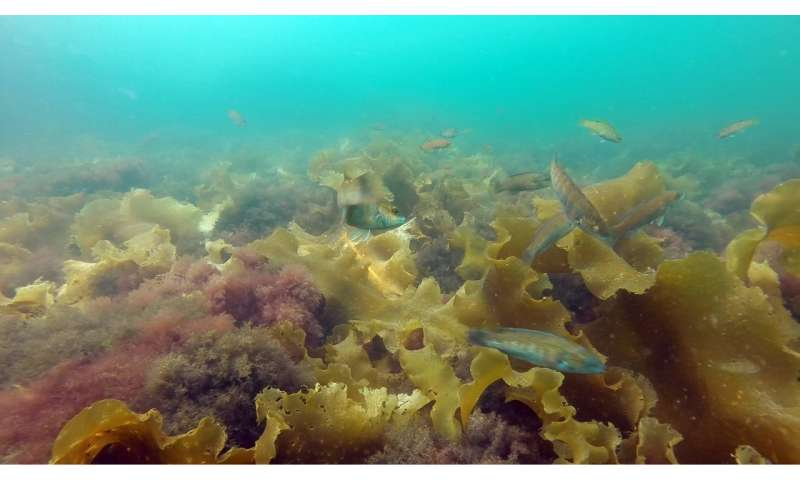 UNH researchers find invasive seaweed makes fish change their behavior