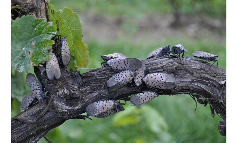 Researchers study lanternfly's potential to harm grapevines
