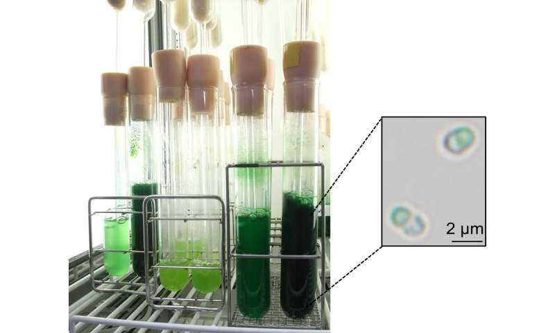 Scientists find a 'switch' to increase starch accumulation in algae