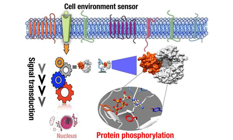 **Discovery of a new on/off switch affecting cell-to-cell communications