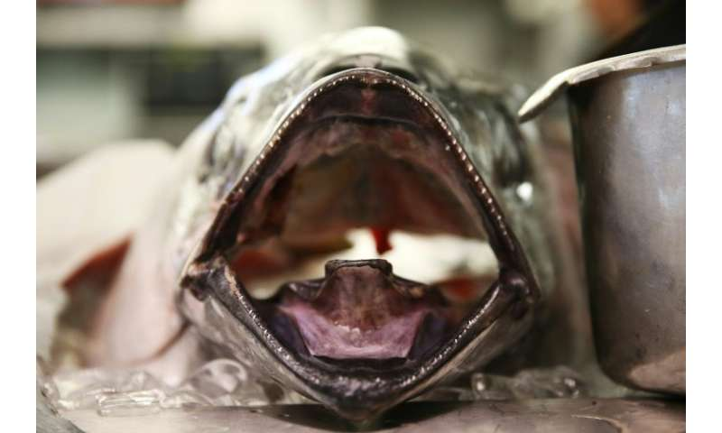 Scientists warn that stocks of bigeye tuna—a fatty and fast-swimming predator—could crash within a decade or two