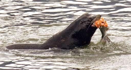 Sea lions gobbling fragile fish in US Northwest survival war
