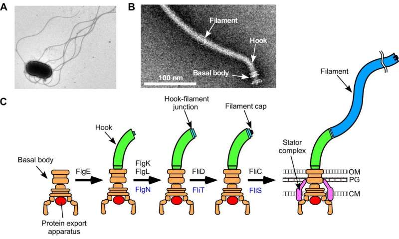 Study sheds light on bacterial propeller assembly