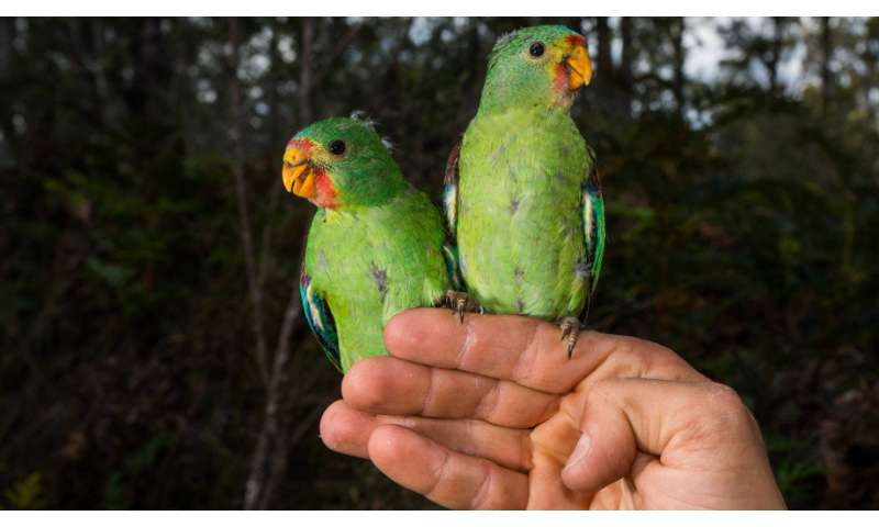 Scientists develop new way to track swift parrots