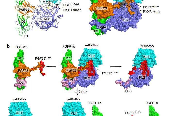 Secrets of longevity protein revealed in new study