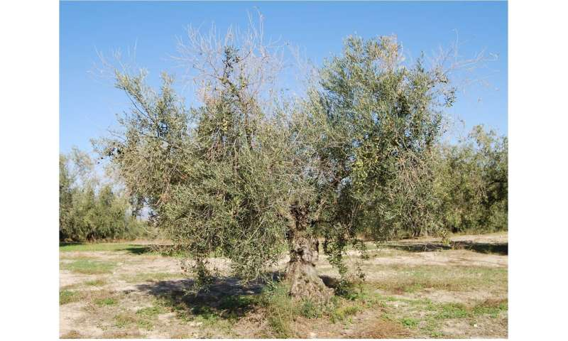 Research in olive varieties steps up the fight against anthracnose