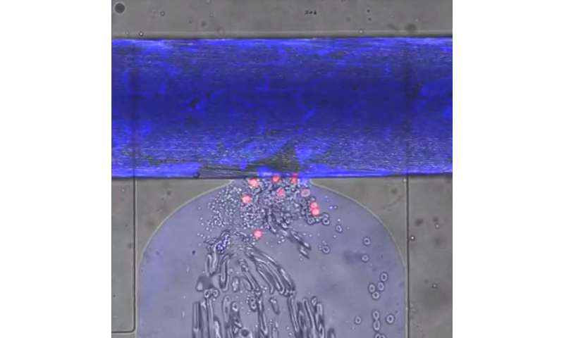 Engineers create miniature self-sealing 'wound'