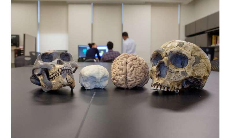 Brain size of human ancestors evolved gradually over 3 million years