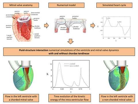 3-D simulations reveal synergistic mechanisms of the human heart
