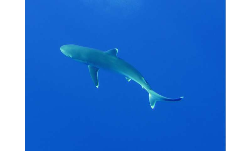 Study shows decline of shark populations even in remote 'pristine' archipelago