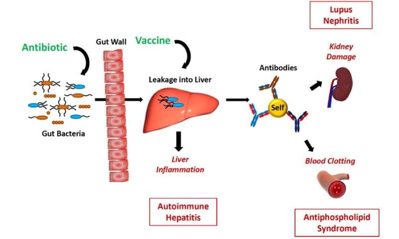 The enemy within: Gut bacteria drive autoimmune disease