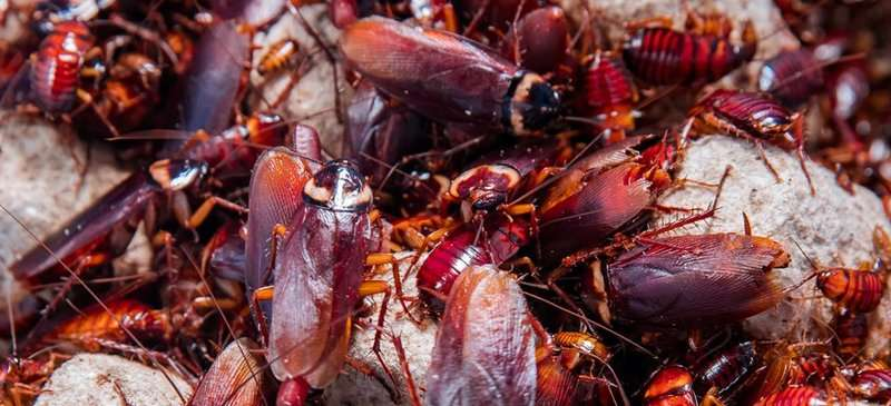 Genome of American cockroach sequenced for the first time