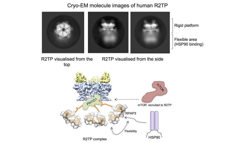 Structure of a protein complex related with cell survival revealed