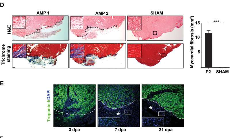 The timing of heart muscle regeneration in neonatal mice