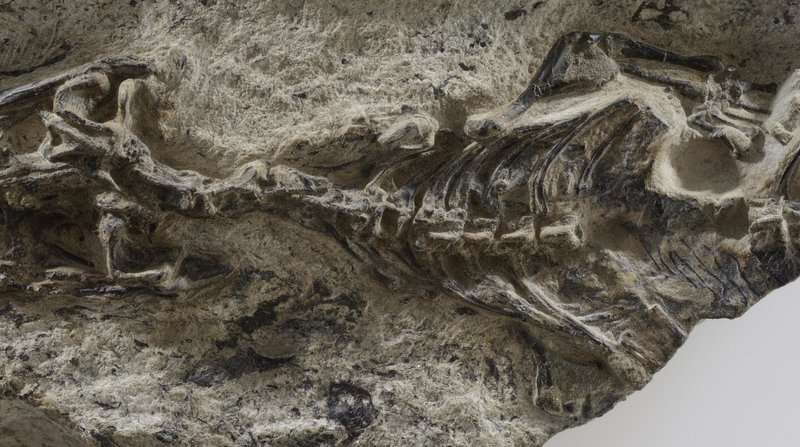 The mother of all lizards found in Italian Alps