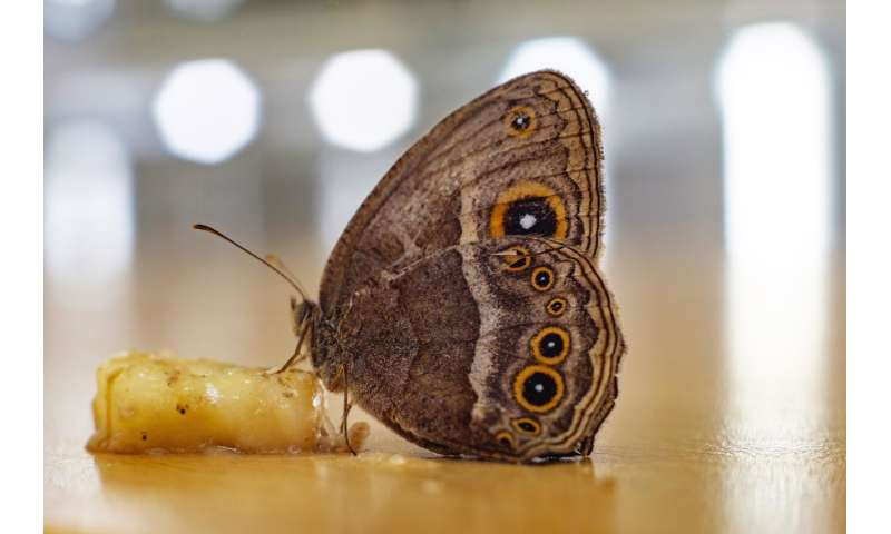 Biologists discover gene responsible for unique appearance of butterflies' dorsal wings