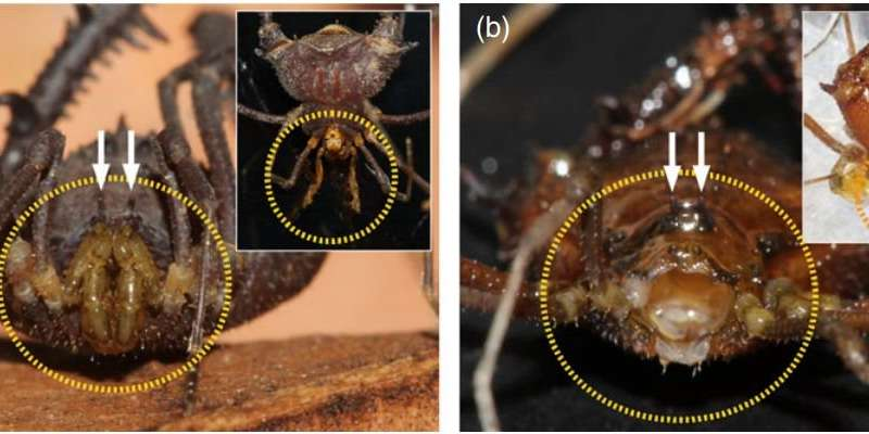 Flatworms found to win most battles with harvestmen