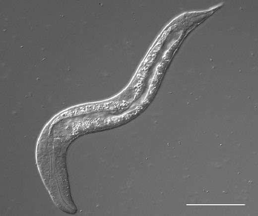 Tiny jumping roundworm undergoes unusual sexual development