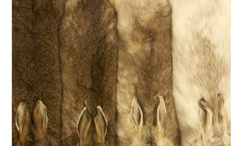Research identifies how snowshoe hares evolved to stay seasonally camouflaged