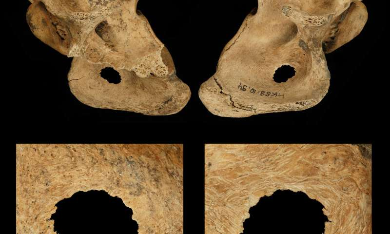 Neanderthals hunted in bands and speared prey up close: study