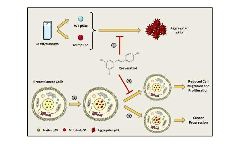 Substance found in grapes prevents agglomeration of a mutant protein that leads to cancer