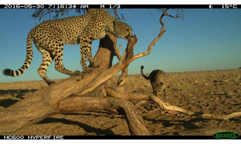 Researchers study the spatial behaviour of male cheetahs