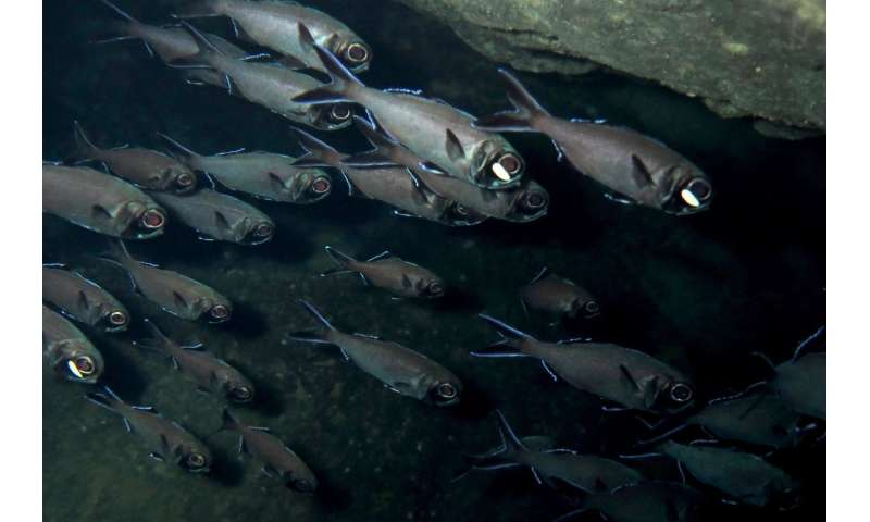 Light receptors determine the behaviour of flashlight fish