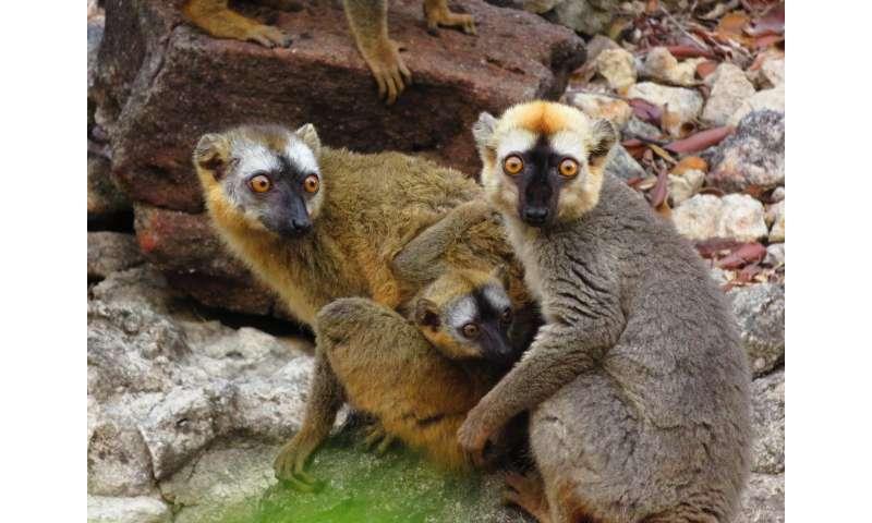 Madagascar's lemurs use millipedes for their tummy troubles