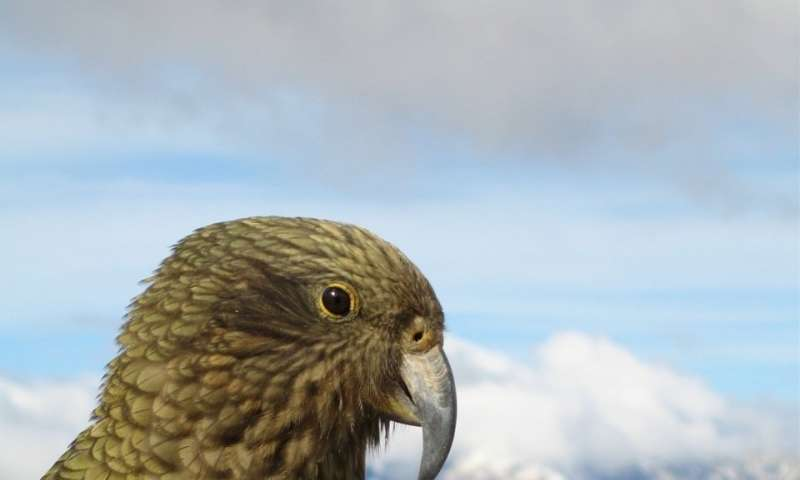 Study confirms that island birds have bigger brains