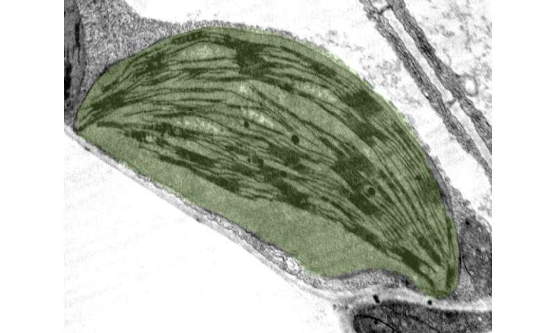 Water and land plants control their photosynthesis similarly, regardless of their origin