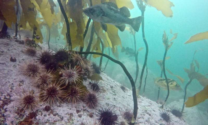 Sea stars critical to kelp forest resilience