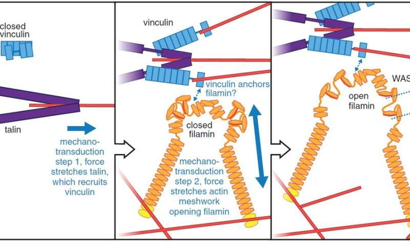 New information to understand regulation of muscle function in muscle dystrophy patients