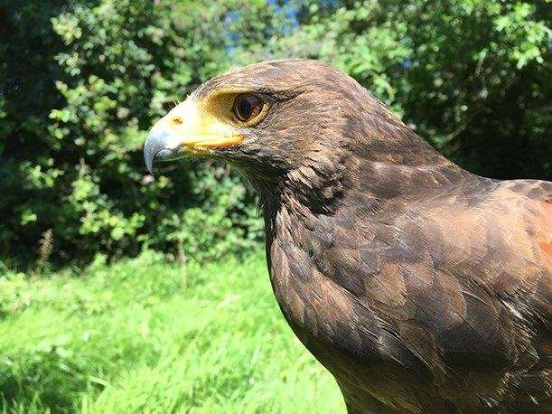 Colour vision makes birds of prey successful hunters