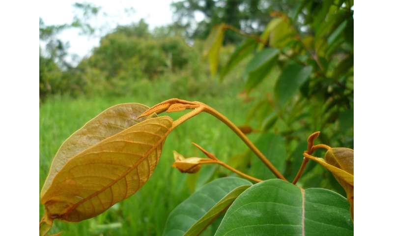 The antitumour mechanism of an Amazonian plant in human cancer cells is deciphered