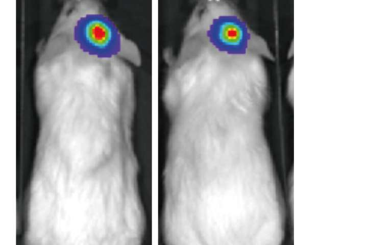 T cell bispecific antibody for the immune-mediated killing of HER2+ breast cancer cells