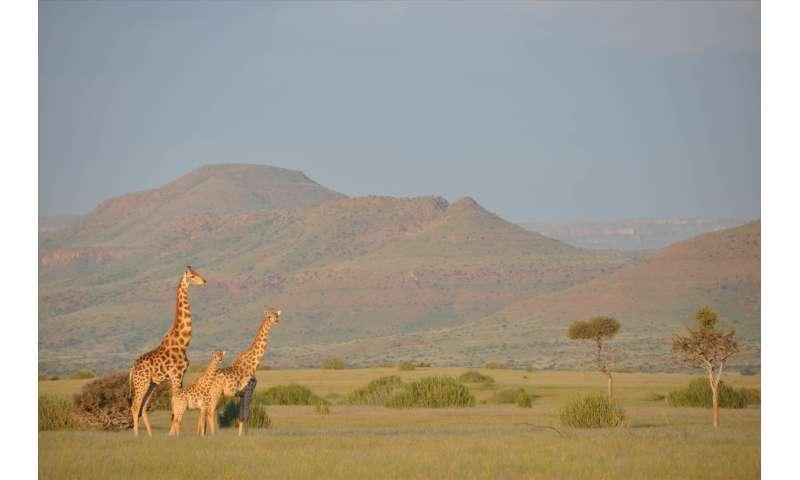Giraffes: Equals stick together