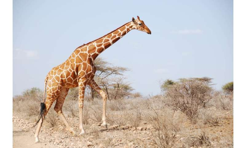 Giraffes: Equals stick together