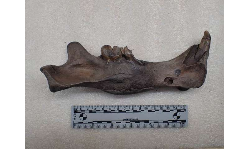 Saber-toothed cats with oral injuries ate softer foods than their uninjured counterparts