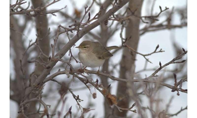 Songbirds set long-distance migration record