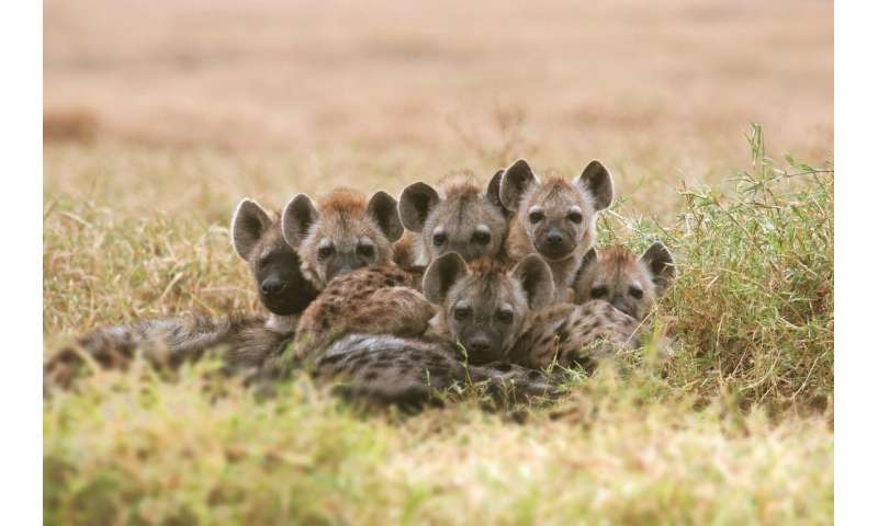 Hyena population recovers slowly from a disease epidemic