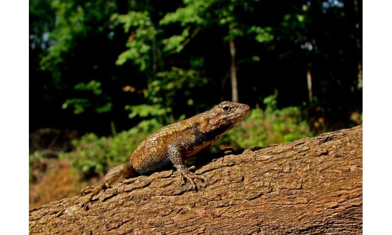 Lizards quickly adapt to threat from invasive fire ants, reversing geographical patterns of lizard traits